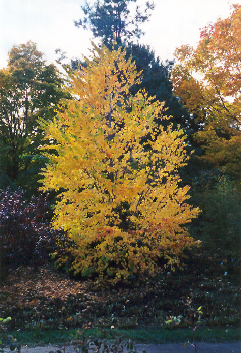 Katsura Tree (Cercidiphyllum japonicum) at Baseline Nurseries