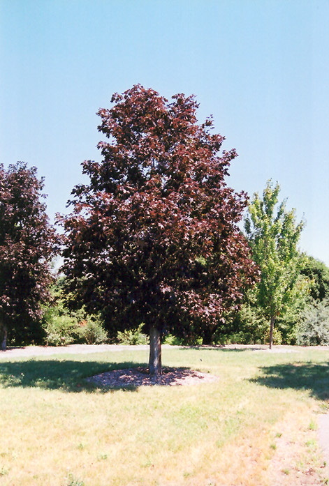 Royal Red Norway Maple (Acer platanoides 'Royal Red') at Baseline Nurseries