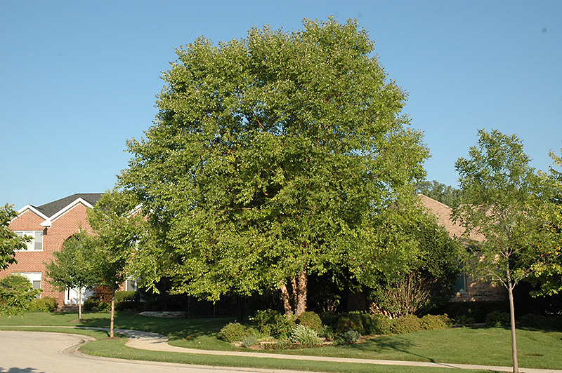 Heritage River Birch (Betula nigra 'Heritage') at Baseline Nurseries