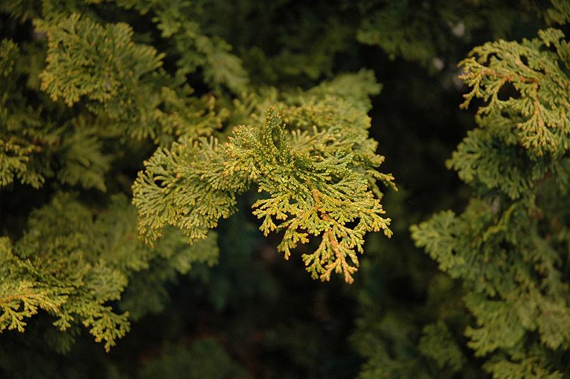Slender Hinoki Falsecypress (Chamaecyparis obtusa 'Gracilis') at Baseline Nurseries
