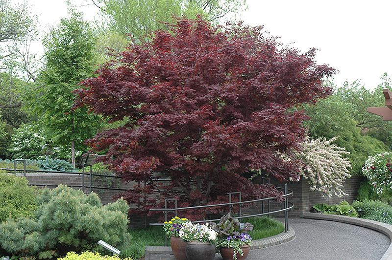 Bloodgood Japanese Maple (Acer palmatum 'Bloodgood') at Baseline Nurseries