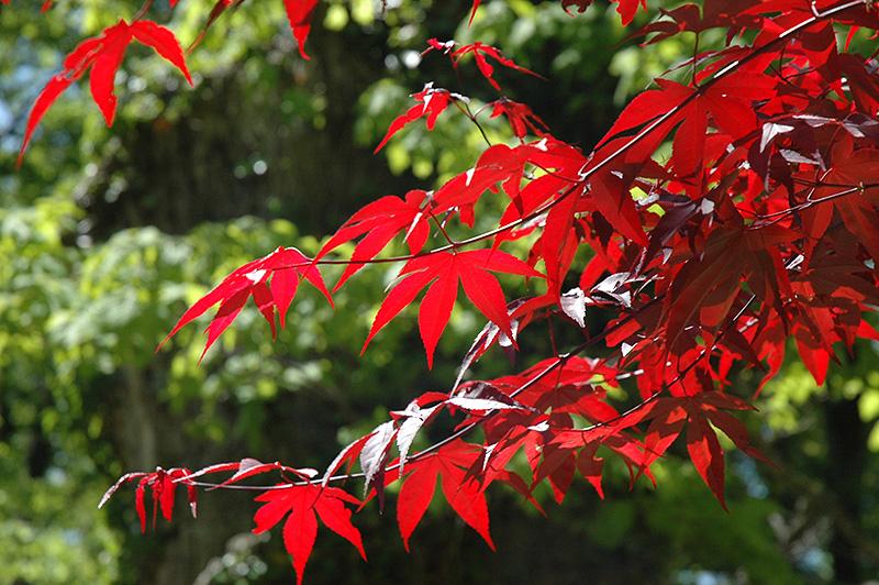 Emperor I Japanese Maple (Acer palmatum 'Wolff') at Baseline Nurseries