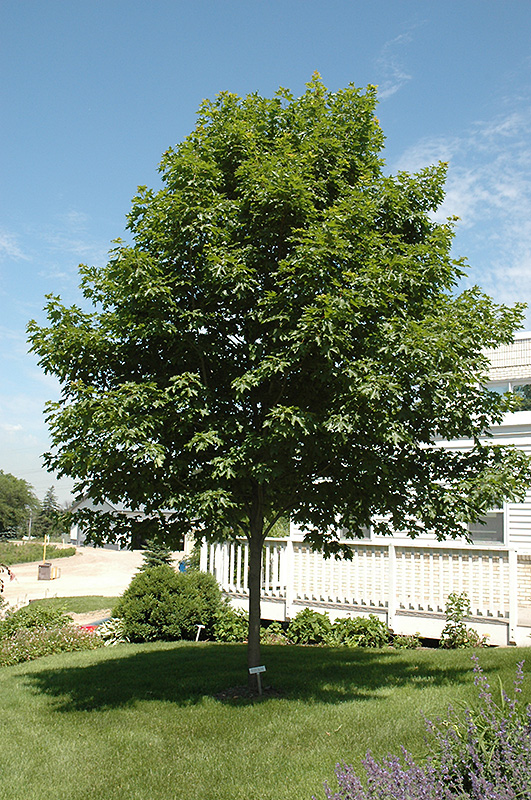 Fall Fiesta Sugar Maple (Acer saccharum 'Bailsta') at Baseline Nurseries