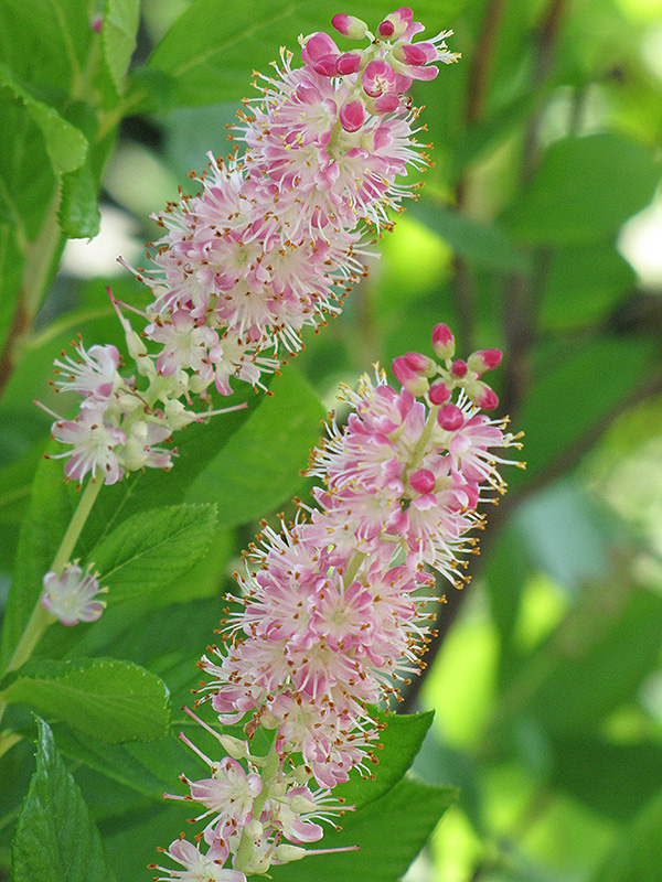 Ruby Spice Summersweet (Clethra alnifolia 'Ruby Spice') at Baseline Nurseries