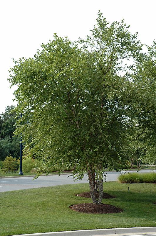 River Birch (clump) (Betula nigra '(clump)') at Baseline Nurseries