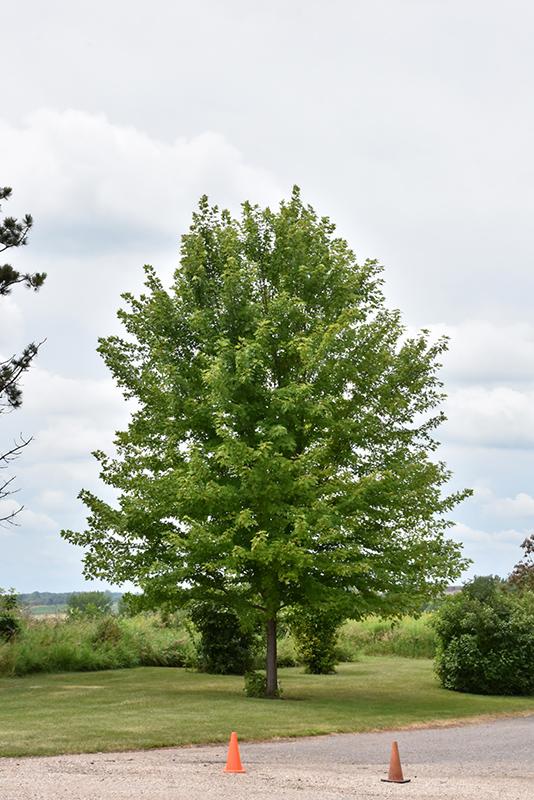 Autumn Blaze Maple (Acer x freemanii 'Jeffersred') at Baseline Nurseries