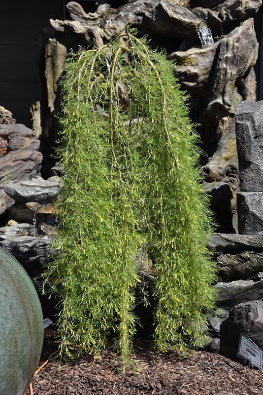 Walker Weeping Peashrub (Caragana arborescens 'Walker') at Baseline Nurseries