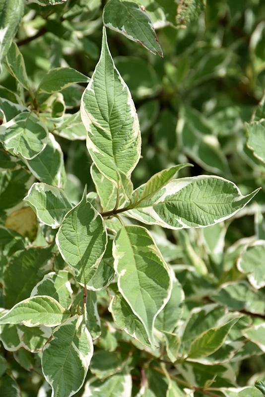Silver Variegated Dogwood (Cornus alba 'Elegantissima') at Baseline Nurseries
