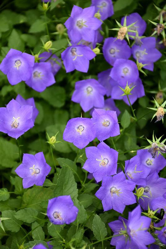 Blue Clips Bellflower (Campanula carpatica 'Blue Clips') at Baseline Nurseries
