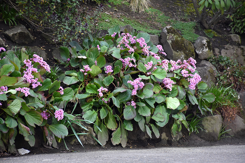 Heartleaf Bergenia (Bergenia cordifolia) at Baseline Nurseries