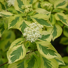 Deciduous Shrub Photo