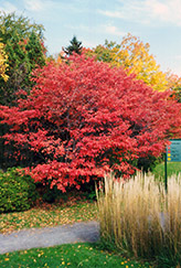 Shadblow Serviceberry (Amelanchier canadensis) at Baseline Nurseries
