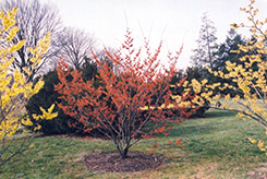 Diane Witchhazel (Hamamelis x intermedia 'Diane') at Baseline Nurseries