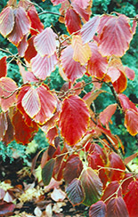 Jelena Witchhazel (Hamamelis x intermedia 'Jelena') at Baseline Nurseries