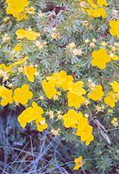 Goldfinger Potentilla (Potentilla fruticosa 'Goldfinger') at Baseline Nurseries