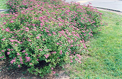 Dart's Red Spirea (Spiraea x bumalda 'Dart's Red') at Baseline Nurseries