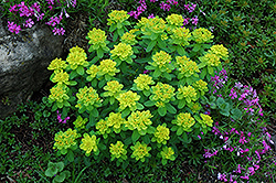 Cushion Spurge (Euphorbia polychroma) at Baseline Nurseries