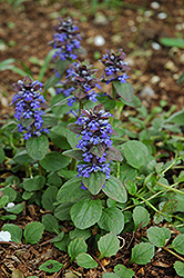 Caitlin's Giant Bugleweed (Ajuga reptans 'Caitlin's Giant') at Baseline Nurseries