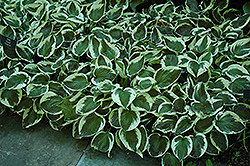 Patriot Hosta (Hosta 'Patriot') at Baseline Nurseries