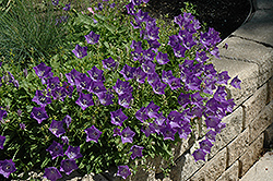 Blue Clips Bellflower (Campanula carpatica 'Blue Clips') at Baseline Nurseries
