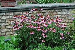 Magnus Coneflower (Echinacea purpurea 'Magnus') at Baseline Nurseries