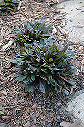 Chocolate Chip Bugleweed (Ajuga reptans 'Chocolate Chip') at Baseline Nurseries