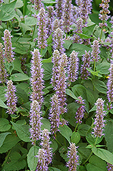 Blue Fortune Anise Hyssop (Agastache 'Blue Fortune') at Baseline Nurseries
