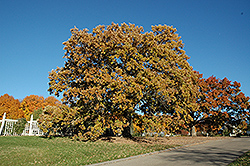Bur Oak (Quercus macrocarpa) at Baseline Nurseries