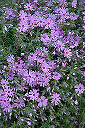 Fort Hill Moss Phlox (Phlox subulata 'Fort Hill') at Baseline Nurseries