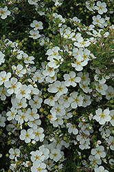 Abbottswood Potentilla (Potentilla fruticosa 'Abbottswood') at Baseline Nurseries