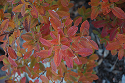 Rainbow Pillar Serviceberry (Amelanchier canadensis 'Glennform') at Baseline Nurseries