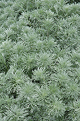 Silver Mound Artemesia (Artemisia schmidtiana 'Silver Mound') at Baseline Nurseries