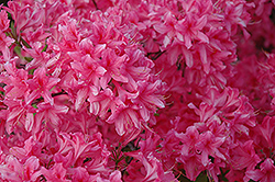 Rosy Lights Azalea (Rhododendron 'Rosy Lights') at Baseline Nurseries