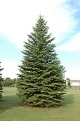 Colorado Spruce (Picea pungens) at Baseline Nurseries