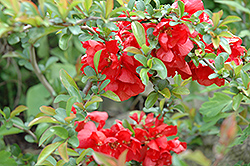 Texas Scarlet Flowering Quince (Chaenomeles speciosa 'Texas Scarlet') at Baseline Nurseries