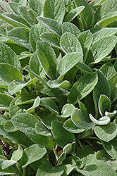 Silver Carpet Lamb's Ears (Stachys byzantina 'Silver Carpet') at Baseline Nurseries