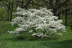 Cherokee Princess Flowering Dogwood (Cornus florida 'Cherokee Princess') at Baseline Nurseries