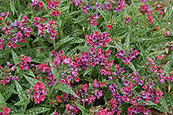 Raspberry Splash Lungwort (Pulmonaria 'Raspberry Splash') at Baseline Nurseries