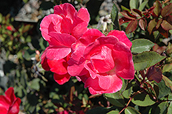 Pink Knock Out® Rose (Rosa 'Radcon') at Baseline Nurseries