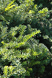 Emerald Spreader Yew (Taxus cuspidata 'Emerald Spreader') at Baseline Nurseries