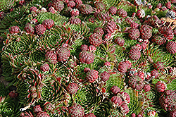 Red Beauty Hens And Chicks (Sempervivum 'Red Beauty') at Baseline Nurseries