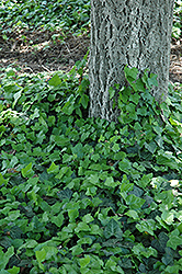 Baltic Ivy (Hedera helix 'Baltica') at Baseline Nurseries