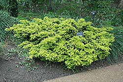 Dwarf Golden Japanese Yew (Taxus cuspidata 'Nana Aurescens') at Baseline Nurseries