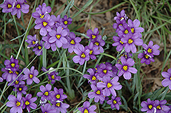 Lucerne Blue-Eyed Grass (Sisyrinchium angustifolium 'Lucerne') at Baseline Nurseries