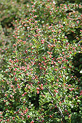 Cranberry Cotoneaster (Cotoneaster apiculatus) at Baseline Nurseries
