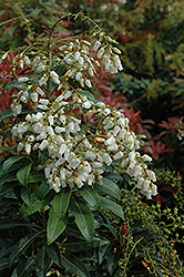 Mountain Fire Japanese Pieris (Pieris japonica 'Mountain Fire') at Baseline Nurseries