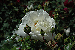 White Dawn Rose (Rosa 'White Dawn') at Baseline Nurseries