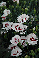 Scent First® Coconut Surprise Pinks (Dianthus 'WP05Yves') at Baseline Nurseries