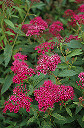 Neon Flash Spirea (Spiraea japonica 'Neon Flash') at Baseline Nurseries