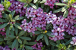 Lawrence Crocker Daphne (Daphne 'Lawrence Crocker') at Baseline Nurseries